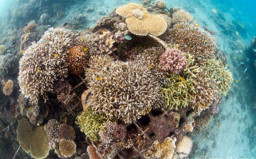 Hard corals on Bio-Rock structure_4618