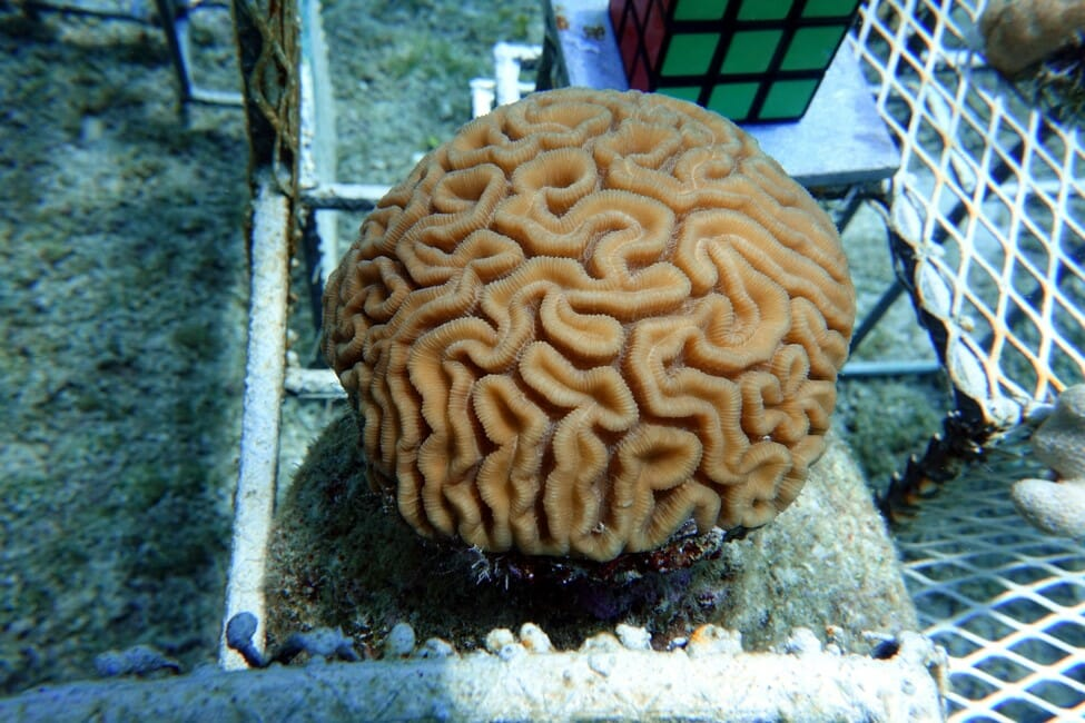 Coral growth after one month on new Cozumel Biorock reefs