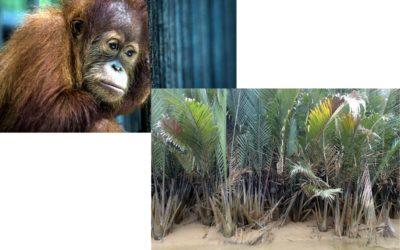 Mangrove restoration in Borneo for carbon sequestration, sustainable biofuels, and orangutan sanctuary