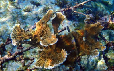 Biorock™ Coral Ark grows elkhorn in Jamaica