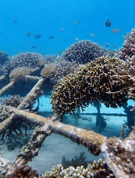 Biorock Reefs Bounce Back After Coral Bleaching: Gili Trawangan Video And Photos By Delphine Robbe